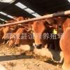 养殖场实地拍摄 低价批发鲁西小黄牛
