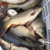 供应新鲜淡水活鱼 生态养殖淡水鱼