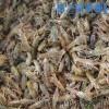 常年供应 龙虾种苗 龙虾养殖