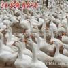 鹅苗优质种鹅养殖