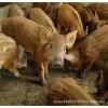 农村养殖野猪 野猪批发