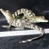 养殖鳄鱼 宠物鳄鱼 批发食材