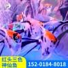 小型观赏鱼热带红头三色神仙鱼