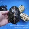 特种水产养殖台湾花龟 珍珠龟 龟碌 批发