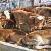 养殖中心专业养殖肉牛