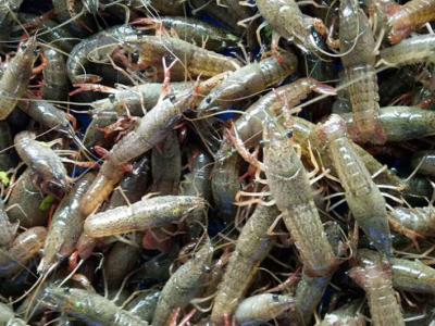 小龙虾苗批发 淡水龙虾苗养殖