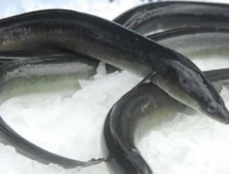 如何更好的养殖鳗鱼?选择适合的养殖方式,做好病害的防治