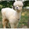 生态园用羊驼的价格多少 山东羊驼养殖场 景区观赏羊驼批发