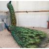 安徽大型特种蓝孔雀生态养殖园 五年大观赏孔雀价格场家包邮