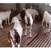 优质波尔山羊 农场生态养殖波尔山羊 羊羔大量批发 黑山羊 包回收