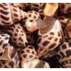 上海花螺鲜活海鲜水产深海捕捞超大海螺贝类青岛野生新鲜顺丰一斤