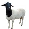 活羊活体羊乌骨羊 纯种乌骨羊小羊羔 乌骨羊小羊崽乌骨羊养殖场
