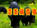 添泰藏香猪生态养殖场实景拍摄 (15播放)