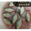 2.5-3厘米4-5厘米活体鱼苗