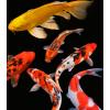 锦鲤鱼活体纯种日本观赏鱼小型淡水冷水红白黑三色活鱼小鱼苗龙凤