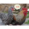 1.5斤纯汶上芦花鸡活苗珍珠鸡贵妃鸡五黑鸡苗活体小鸡活苗2只包邮