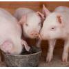 猪仔活苗太湖母猪小猪仔活猪崽成年一对活物育肥肉猪苏太母猪二元