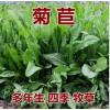 菊苣种籽养殖大叶多年生四季牧草种子鱼羊牛兔鸡鸭鹅猪草种孑再生