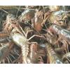 小龙虾苗活体虾抱卵鲜活苗塘口幼苗种虾大龙虾青虾活体淡水虾养殖