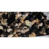 供应新鲜散养绿壳乌鸡蛋 绿壳蛋种鸡常年供应 基地养殖